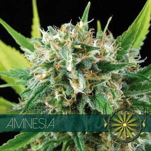 Vision Seeds Amnesia Feminised cannabis seeds