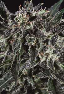 Super CBDx Amnesia Haze x SCBDX Feminised cannabis seeds
