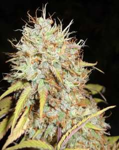 Phoenix Seeds Amnesia Express Auto Feminised cannabis seeds