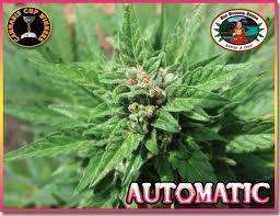 Big Buddha SeedsAuto Feminised Seeds