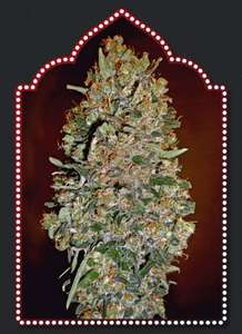 00 SeedsAutomatik Collection #1 Feminised Seeds - 6
