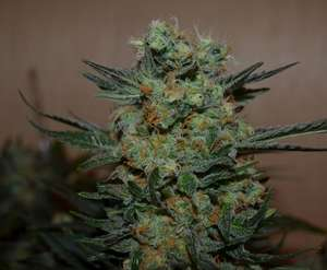 Kalashnikov Seeds Baikal Express Feminised cannabis seeds