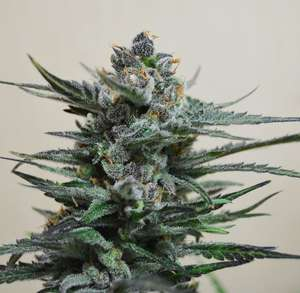 Kalashnikov SeedsBlue Acid Auto Feminised Seeds