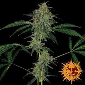 Barney's Farm Seeds Blue Mammoth Auto Feminised cannabis seeds