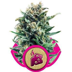 Royal Queen Seeds Blue Cheese Feminised cannabis seeds