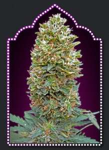 00 SeedsBubble Gum Auto Feminised Seeds - 5
