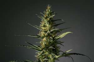 Medical Marijuana Genetics Candida (CD ) Feminised cannabis seeds