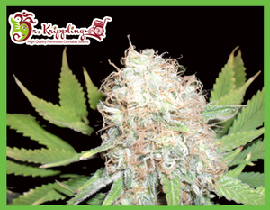 Dr Krippling Seeds Bud Bud Bling Tingz Feminised cannabis seeds