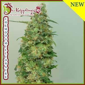 Dr Krippling Seeds Chemdog Millionaire Feminised cannabis seeds