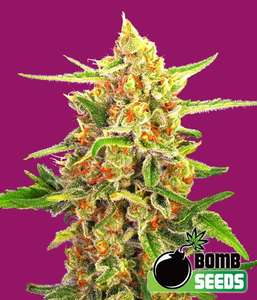 Bomb Seeds Cherry Bomb Feminised cannabis seeds