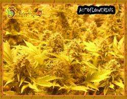 Dr Krippling Seeds Choc Auto Feminised cannabis seeds