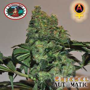 Big Buddha SeedsChiesel Auto Feminised Seeds