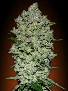 Advanced Seeds Collection #1 AUTOMATIC Feminised cannabis seeds