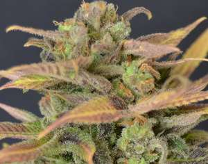 CBD Seeds Critical Auto Feminised cannabis seeds