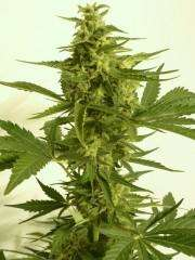 T.H. Seeds Critical Hog Auto Feminised cannabis seeds
