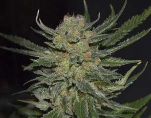 CBD Seeds Domina Feminised cannabis seeds