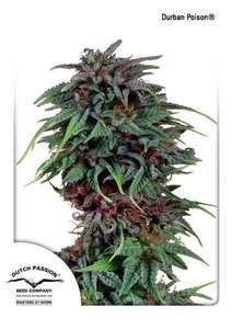 Dutch Passion Durban Poison Regular  cannabis seeds