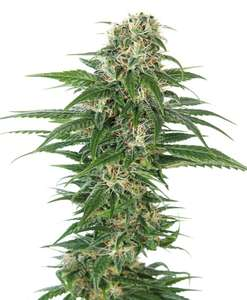 Sensi Seeds Early Skunk Auto Feminised cannabis seeds