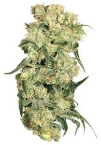 Dutch Passion Freddy's Best Feminised cannabis seeds
