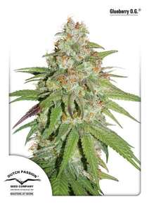 Dutch Passion Glueberry O.G. Feminised cannabis seeds