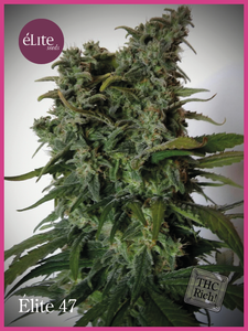 Elite Seeds Elite 47 Feminised cannabis seeds