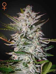 Greenhouse Seed Co.Holy Punch Feminised Seeds