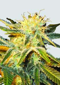 Nirvana Seeds Ice Regular  cannabis seeds