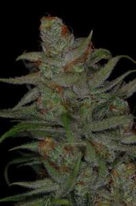 Subcool Seeds/TGA Genetics Jack Skellington Regular cannabis seeds