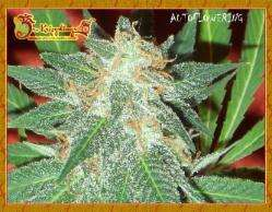 Dr Krippling Seeds Jumping Black Dash Auto Feminised cannabis seeds