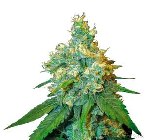 Sensi Seeds Jack Herer Feminised cannabis seeds