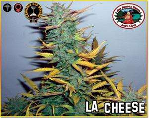 Big Buddha Seeds L.A. Cheese Feminised cannabis seeds