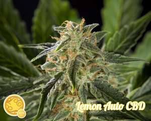 Philosopher Seeds Lemon CBD Auto Feminised cannabis seeds