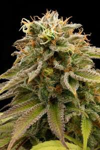 Humboldt Seeds Lemon Thai Kush Feminised cannabis seeds
