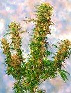 Sagarmatha SeedsMangolian Indica Regular Seeds - 10