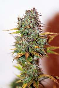 SeedsmanMini Gun Auto Feminised Seeds