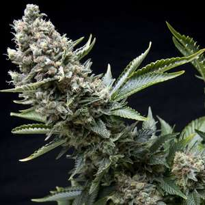 Pyramid Seeds New York City Feminised cannabis seeds