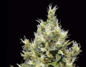 CBD Seeds Northern Feminised cannabis seeds