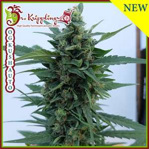 Dr Krippling SeedsOG Kush Auto Feminised Seeds