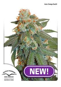 Dutch PassionOrange Bud Auto Feminised Seeds
