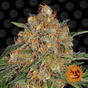 Barney's Farm SeedsOrange Sherbert Feminised Seeds