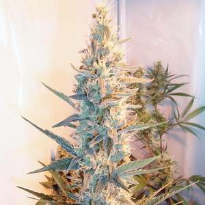 Female SeedsOutdoor Grapefruit Feminised Seeds