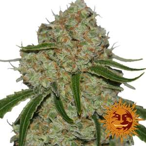 Barney's Farm SeedsPhantom OG Feminised Seeds
