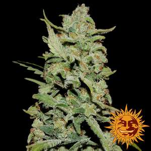 Barney's Farm SeedsPeyote Critical Feminised Seeds