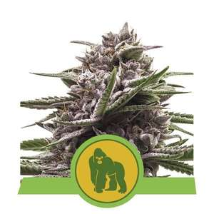 Royal Queen SeedsRoyal Gorilla Auto Feminised Seeds