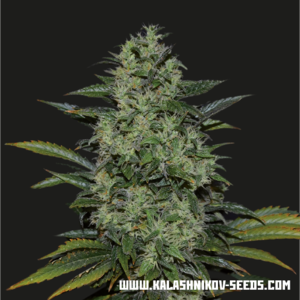 Kalashnikov SeedsPower Russian Feminised Seeds