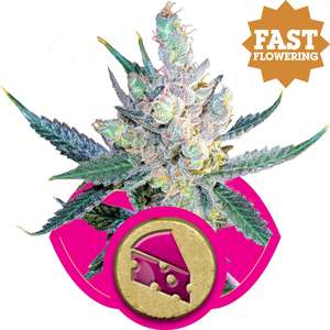 Royal Queen SeedsRoyal Cheese FAST Version Feminised Seeds