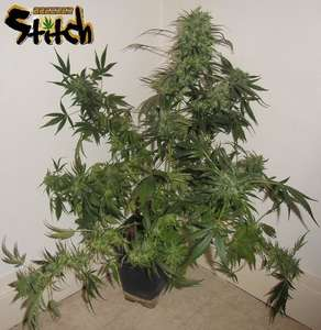 Flash SeedsRussian Haze Autoflowering Feminised Seeds - 3