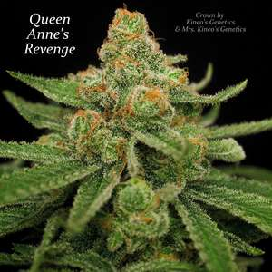 Subcool Seeds/TGA GeneticsQueen Anne's Revenge Regular Seeds