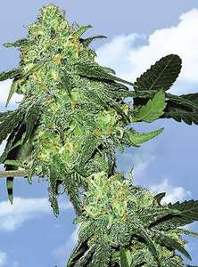 Flying DutchmenSkunk Classic Feminised Seeds