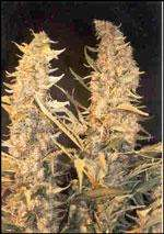 Female SeedsSkunk Special Feminised Seeds
